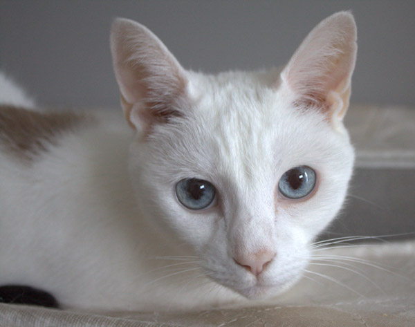 Munch, a Siamese mix cat